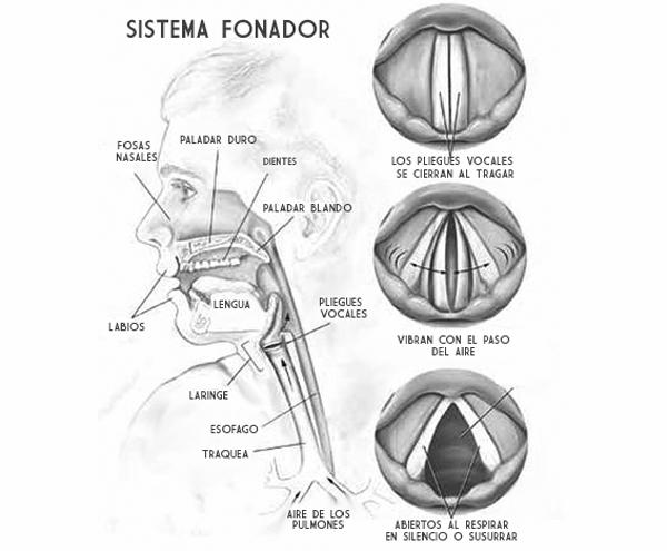 sistema fonador