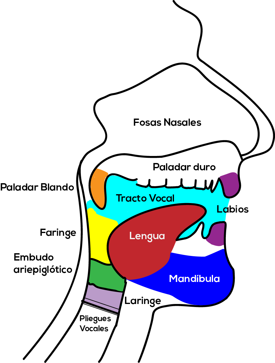 tracto vocal
